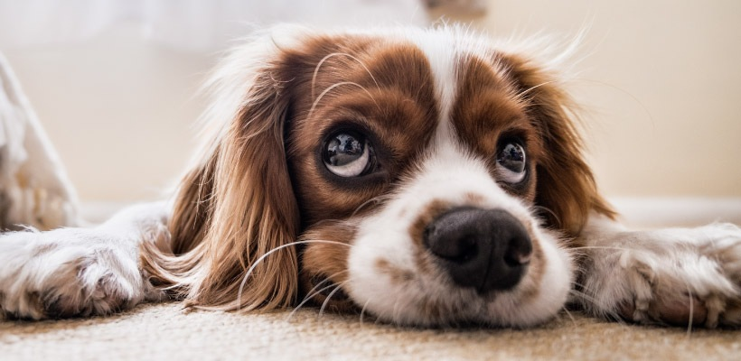 Close-up of spaniel dog with long brown and white hair and floppy ears lies on the ground looking up with big brown eyes